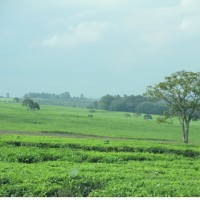 Tea fields by Kericho